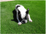 Dogs love our animal friendly artificial turf